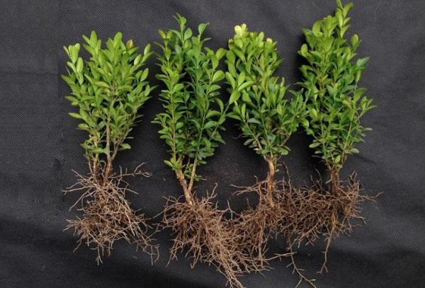 Самшит черенки с корнями