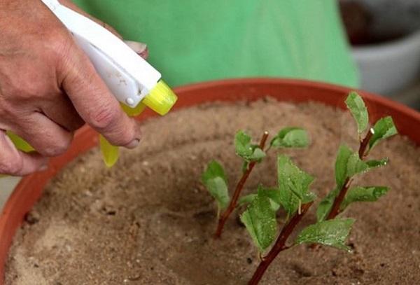 Заготовка и укоренение зеленых верхушек
