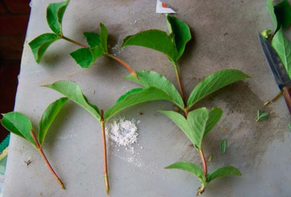 Размножение вейгелы черенками