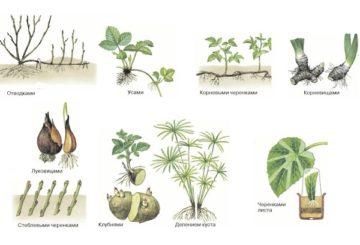 Виды и способы размножения растений в природе